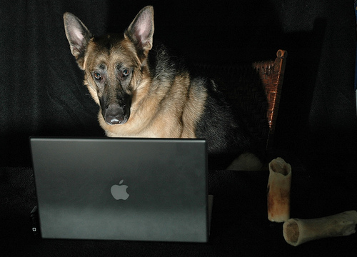 German shepherd on computer