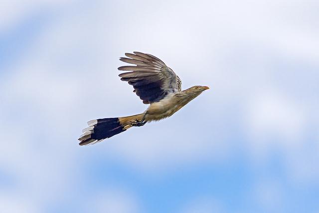 A guira cuckoo flying
