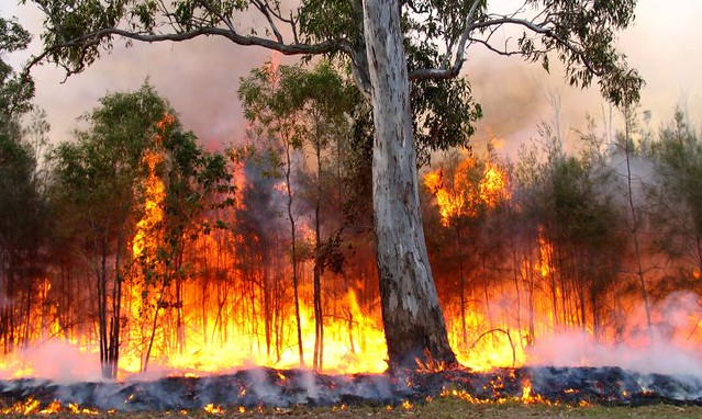 Trees burning in a bushfire
